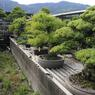 La pépinière des Kandaka rassemble des chefs-d'œuvre bonsaï. 80% de la production nationale de bonsaïs de pins provient du village-bonsaï de Kinashi où l'entreprise est située.