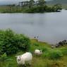 Au Connemara, lacs et landes sculptent des paysages d'exception. Surnommée la «Beauté sauvage» par Oscar Wilde, ici, la nature règne en maitresse absolue.