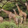 La faune de la réserve de Spioen Kop compte de nombreux rhinocéros blanc, antilopes, buffles, gnous et girafes...