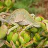 Aux abords de l'écolodge «Three Trees Hill Lodge», les caméléons changent d'humeur comme de couleur...