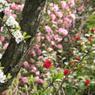 Floraison éclatante de camélias et prunus au Jardin François, en Normandie.