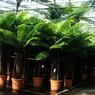 L'entreprise commercialise pas moins de 200 espèces de plantes traditionnelles ou exotiques. Ici des fougères arborescentes d'Australie.