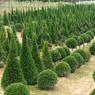Taillés en cône, en boule, en spirale ou en plateaux: les plus beaux arbustes sont vendus en France et à l'étranger à de grands hôtels, des châteaux royaux, des parcs et des jardins d'exception.