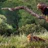 L'AIGLE ET LE RENARD. « Un aigle et un renard, ayant fait amitié ensemble, décidèrent d'habiter l'un près de l'autre, dans la pensée que la cohabitation affermirait leur liaison. Et alors l'aigle, prenant son essor, s'établit sur un arbre très élevé et y fit sa couvée, tandis que le renard, se glissant dans le buisson qui était au pied de l'arbre, y déposa ses petits. Mais un jour que le renard était sorti pour chercher pâture, l'aigle à court de nourriture fondit sur le buisson, enleva les renardeaux et s'en régala avec ses petits. » Ces mots du plus grand fabuliste grec de l'Antiquité, Esope, trouvent un bien étrange écho dans cette prairie d'altitude de la Sierra Morena, dans le sud de l'Espagne, au nord de Cordoue.