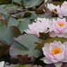 Le nymphéa 'Fabiola' est un grand nénuphar rose cultivé dans les bassins du jardin de la pépinière Latour-Marliac, au Temple-sur-Lot (Lot-et-Garonne).