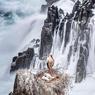 NID D'AMOUR, NID D'IVRESSE.Les cigognes, d'ordinaire, préfèrent le calme des cheminées alsaciennes ou les doux points hauts des campagnes. Sauf celles-ci, visiblement, qui ont choisi, pour nidifier et donner naissance à leur progéniture, un rocher perdu au milieu des vagues et des tourbillons de l'océan Atlantique, sur les bords d'un rivage déchiqueté du Portugal. Mais que leur est-il donc passé par la tête pour échouer dans un tel maelström? Et que va-t-il advenir des oisillons quand ils se lanceront dans les airs pour la première fois? Espérons que ces gracieux oiseaux ne s'obstineront pas dans leur erreur, et que, si la légende est vraie, ils ne se tromperont pas non plus d'endroit lorsqu'ils déposeront un bébé chez d'heureux parents.