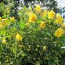 'Golden boy', premier prix dans la catégorie «sarmenteux», ce rosier très florifère et très résistant aux maladies fleurit jusqu'aux gelées. Ses fleurs jaune pâle valorisées par un feuillage homogène,sont pleines de charme.Obtention: Chris Warner, présenté par les Pépinières de la Saulaie.