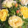 'Château de Cheverny', Grand Prix SNHF toutes catégories. De mai à octobre, ce grand rosier arbustif (catégorie «paysage») se couvre de boutons jaune rosé puis de fleurs jaune safran qui exhalent un parfum intense. Le feuillage brillant ne craint ni les maladies, ni les gelées et son port compact permet de réaliser de superbes massifs ou de le planter en pot. Obtention: Pépinières et roseraies Georges Delbard.