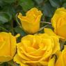 'Rayon de Soleil', premier prix dans la catégorie «buisson à fleurs groupées». D'une hauteur de 70 à 100 cm, ce rosier arbore un feuillage vert foncé brillant d'une belle densité. Ses fleurs d'un jaune d'or soutenu très lumineux portent bien leur nom. La floraison abondante est continue du printemps aux premières gelées. Très bonne résistance aux maladies. Obtention: Meilland International