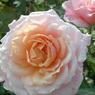 'Pierre Hermé', premier prix dans la catégorie «buisson à grandes fleurs». Ce rosier à port érigé, d'une hauteur de 120 cm, produit toute la saison de grandesfleurs doubles turbinées au parfum puissant qui fleurissent en un camaïeu de rose etd'abricot. L'arbuste est robuste, rustique et vigoureux et possède une excellent résistanceaux maladies du feuillage. Obtention: André Ève, roses anciennes & nouvelles.