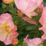 'Lambert Wilson'  Ce rosier buisson à fleurs groupées, à port semi-érigé s'est vu décerner le coup de cœur du jury. Il fleurit toute la saison en gros bouquets de fleurs simples évoluant d'un abricot léger au rose pastel. Le parfum subtil et agréable, a des notes de tilleul et chèvrefeuille. L'arbuste est vigoureux, rustique et opposeune bonne résistance aux maladies. Obtention: André Ève, roses anciennes & nouvelles