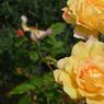 'Saint Adrien', premier prix dans la catégorie paysage. Naturellement résistant aux maladies et très remontant, ce rosier arbore des fleurs abricot pâle d'un diamètre d'environ 10 cm une fois épanouies. Elles exhalent un parfum délicieux, présent sans être ennivrant. Véritable arbuste, il ne nécessite pas de taille particulière, si ce n'est la formation pourobtenir un joli buisson.Obtention: Kordès.