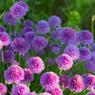 Fleurs de ciboulette.