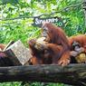 FESTIN DE SINGE. Des Orangs Outans à l'assaut de durians, un fruit récolté dans le sud-est de l'Asie connu pour son goût particulier et sa forte odeur, durant le 44ème anniversaire du zoo de Singapour, le 27 juin.