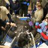 GARE AU GORILLE! Allongé sur le filet qui a permis de le neutraliser, Little Joe, un gorille mâle de 24ans, est en train de subir un simple bilan de santé. Mais, à voir le nombre de vétérinaires qui s'occupent de lui, on comprend à quel point le zoo de Boston (Massachusetts, nord-est des Etats-Unis) tient à ce genre de pensionnaire. Créé en 1912, ce parc animalier de 29hectares ne possède en effet que huit gorilles, tous hébergés avec d'autres espèces dans un vaste espace aménagé en fausse forêt tropicale, torrent compris. Mais rien n'est trop beau pour ces hominoïdes dont l'espérance de vie (environ 45ans) est désormais moins menacée en captivité qu'elle ne l'est dans leurs forêts africaines d'origine.