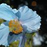 Splendide spécimen de pavot bleu de l'Himalaya. Elsie Reford en avait créé une riche collection que son petit-fils Alexandre continue d'enrichir.