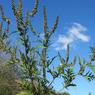 L'ambroisie à feuilles d'armoise ( Ambrosia artemisiifolia) est en progression dans toute la France, en particulier dans la vallée du Rhône. Très allergène, le pollen de cette américaine originaire des grandes plaines des États-Unis et du Canada, pose, chaque année au moment de la floraison, de graves problèmes de santé publique.