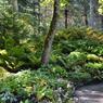 Vue sur le sous-bois frais et humide, planté notamment de fougères et d'hostas.