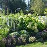 L'entrée du potager richement décorée par des tournesols des hydrangées Annabelle, des choux décoratifs et de la ciboulette en fleur.