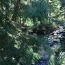 La propriété est traversée par un petit torrent qui serpente au milieu des «épinettes» ou pruches ( Tsuga canadiensis).