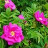 Planté dans les jardins ou le long des axes routiers, le rosier rugueux (Rosa rugosa) peut rapidement coloniser les milieux naturels, comme les dunes du littoral de la Manche, au détriment de la flore locale.