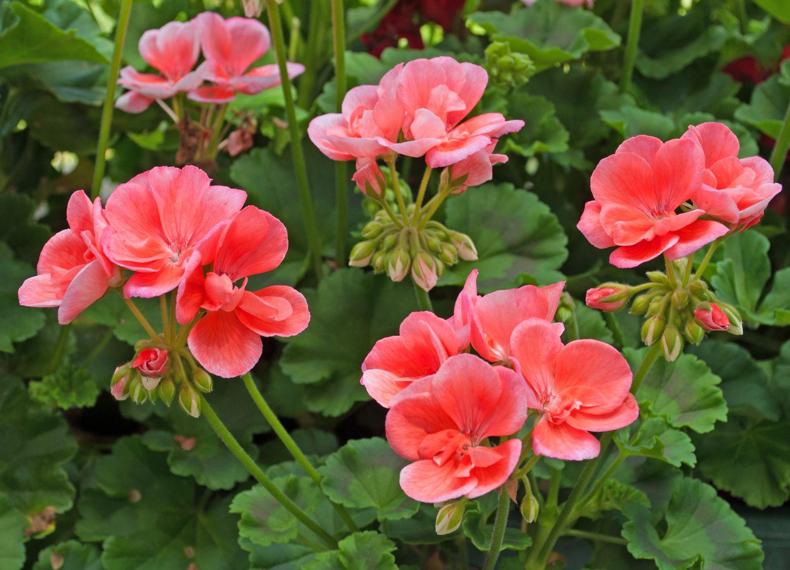 G ranium parterres des vari t s foison - Quand planter les geraniums ...