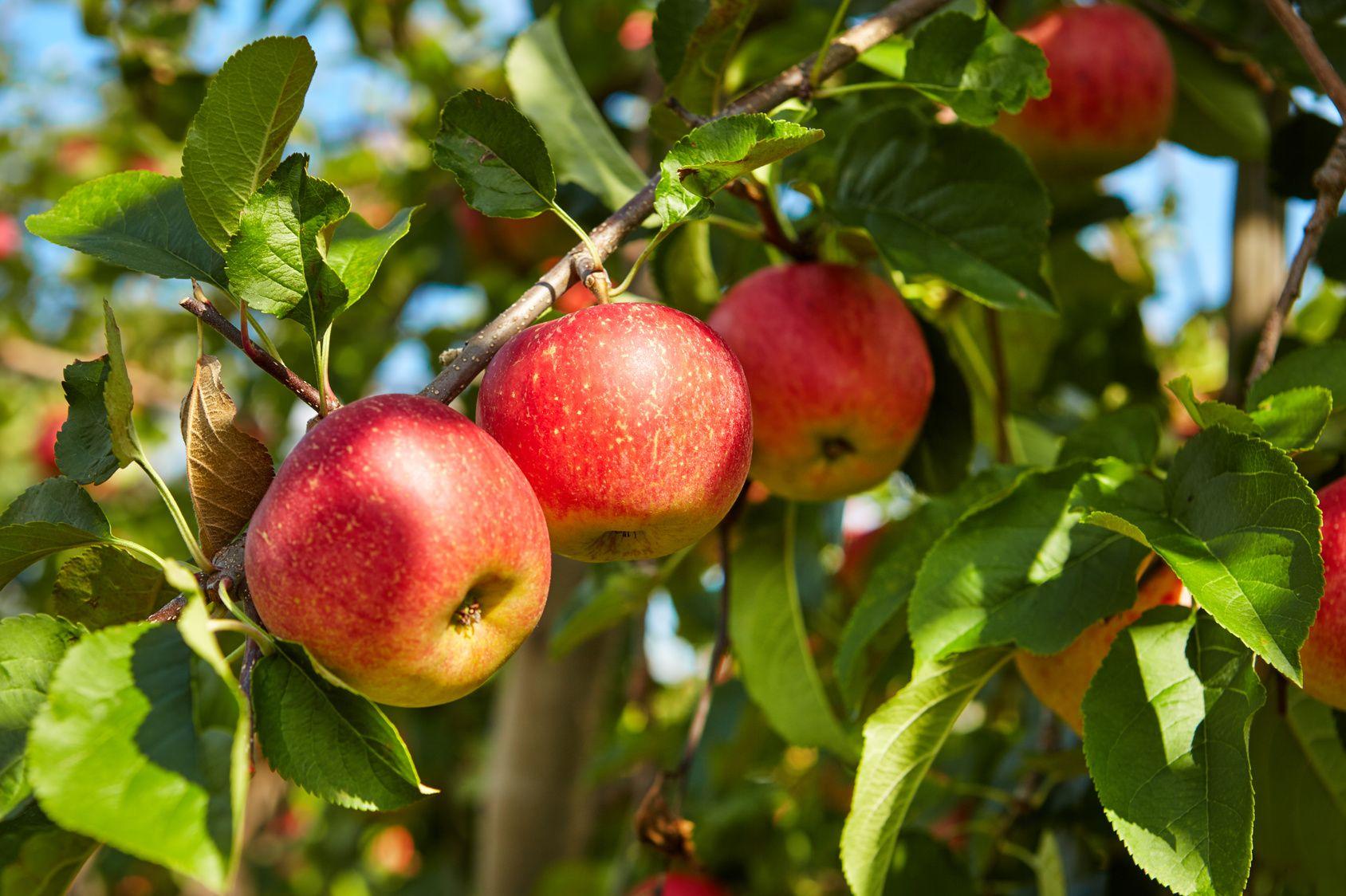 Pommier l 39 un des plus anciens arbres fruitiers - L arbre le pommier ...