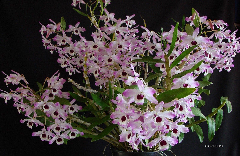 dendrobium l 39 orchid e qui n 39 aime pas trop la chaleur. Black Bedroom Furniture Sets. Home Design Ideas