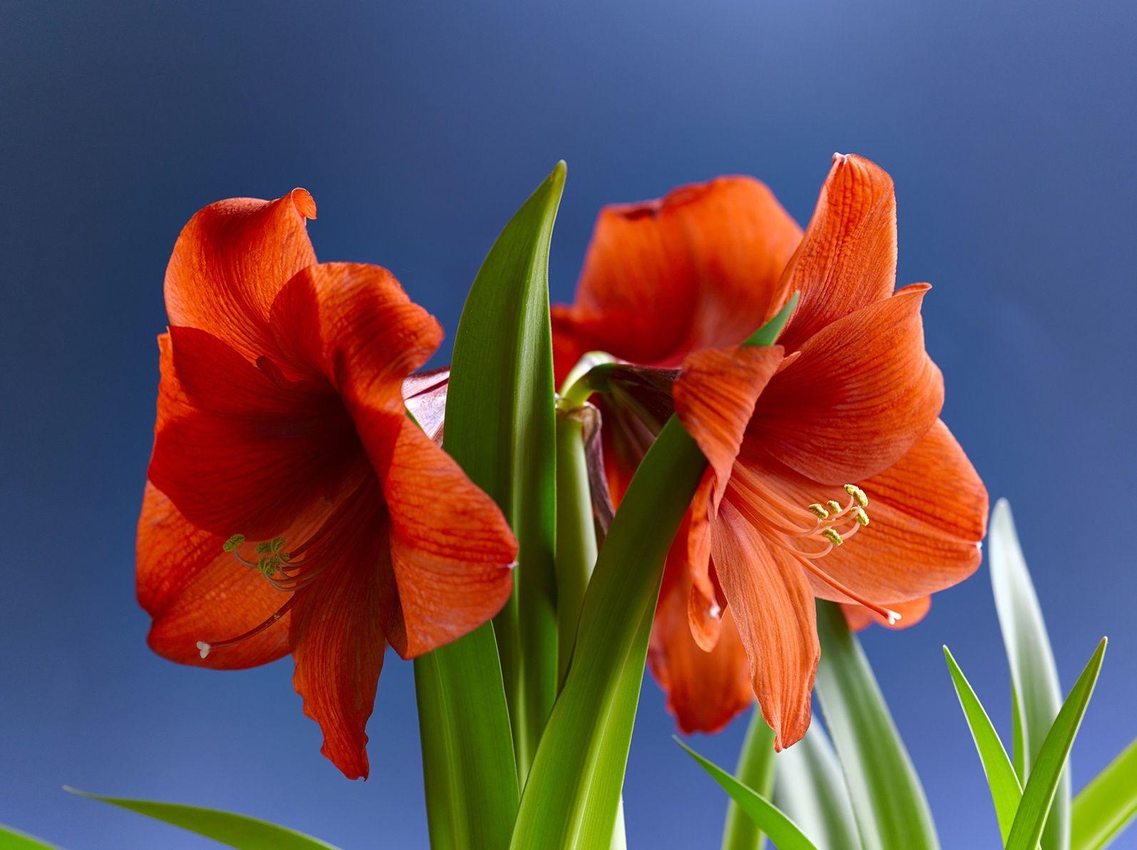 Comment faire fleurir une amaryllis for Amaryllis ne fleurit pas
