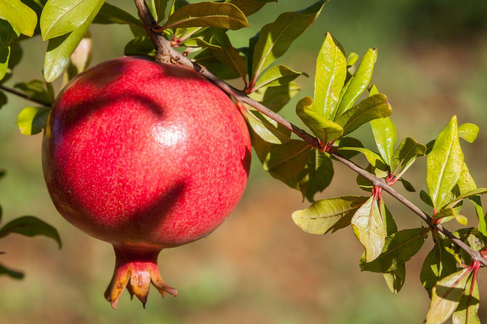 Quels arbres fruitiers planter pr s de paris - Comment planter un cerisier ...