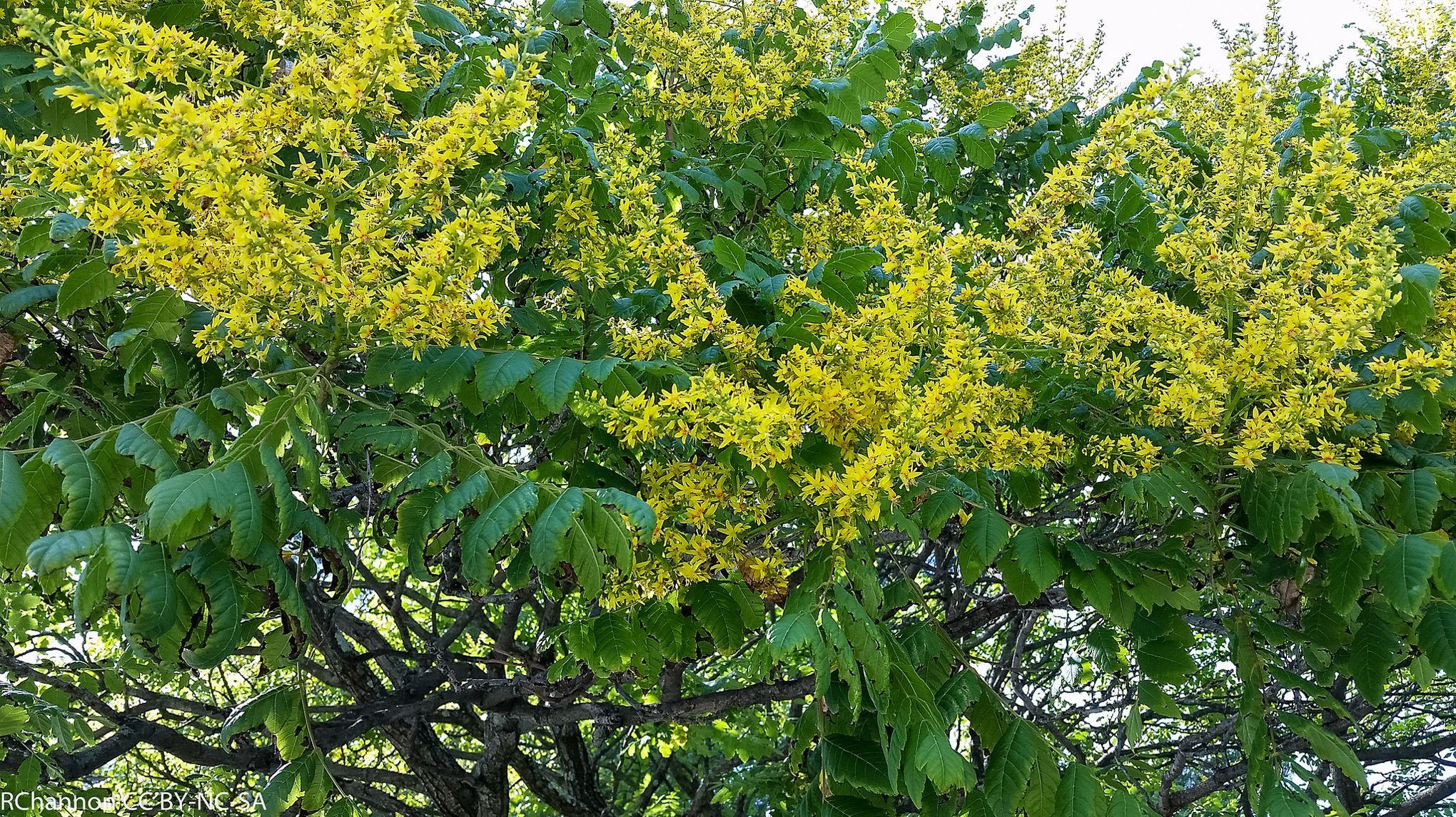 Savonnier ou bois de panama for Arbre buisson pour jardin