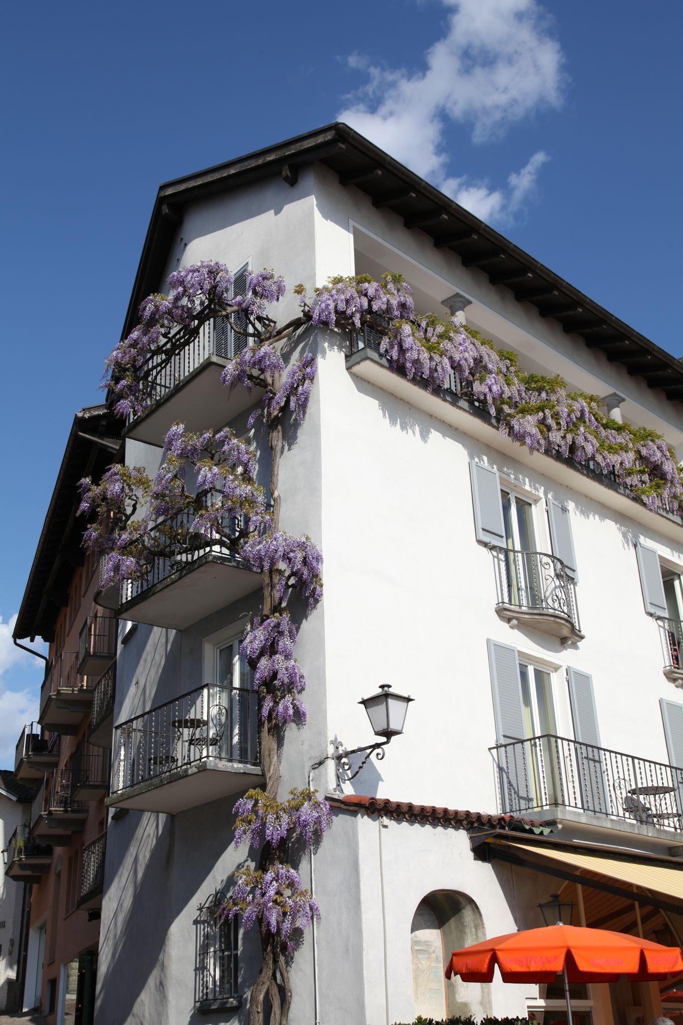Quelle plante grimpante choisir sur un balcon ?