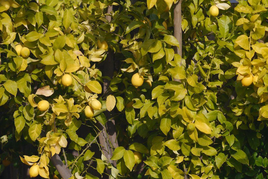 jaunissement du citronnier est ce une carence en fer
