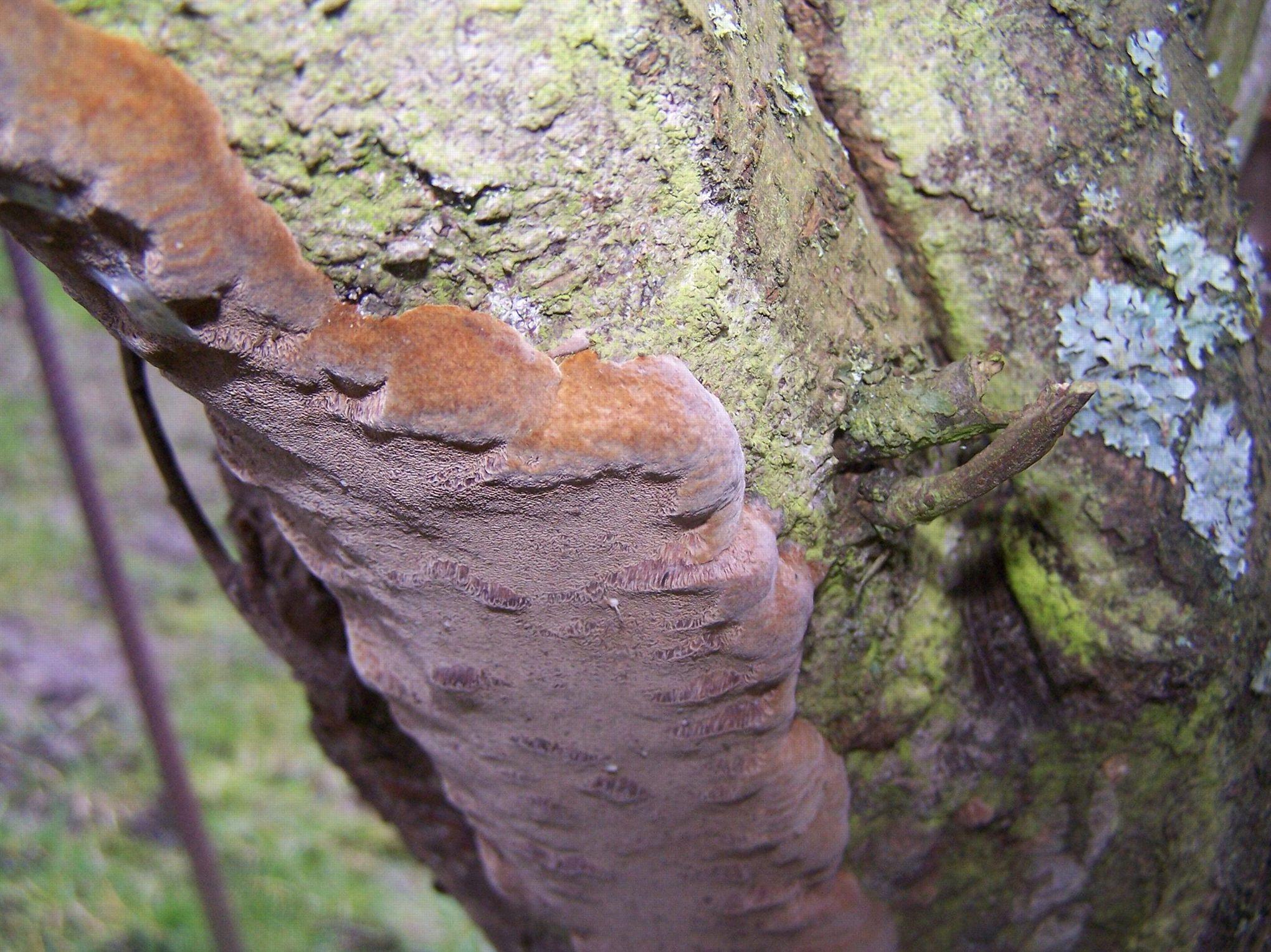 Comment soigner un prunier envahi de champignons - Champignon sur tronc d arbre ...