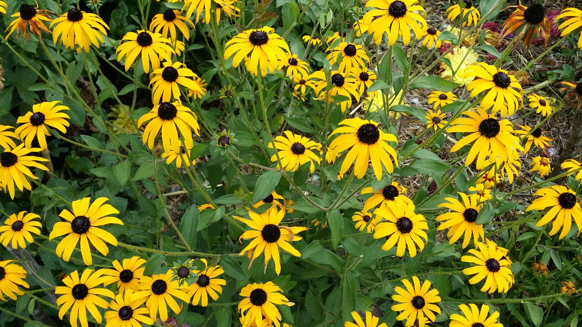 Rudbeckias L 39 Or Des Massifs