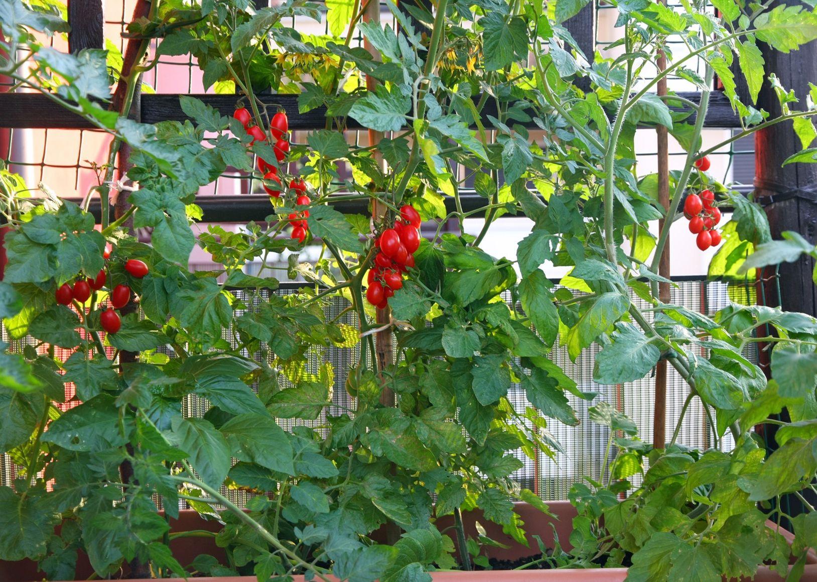 Potager sur un balcon combien de terre apporter for Jardin potager 2015
