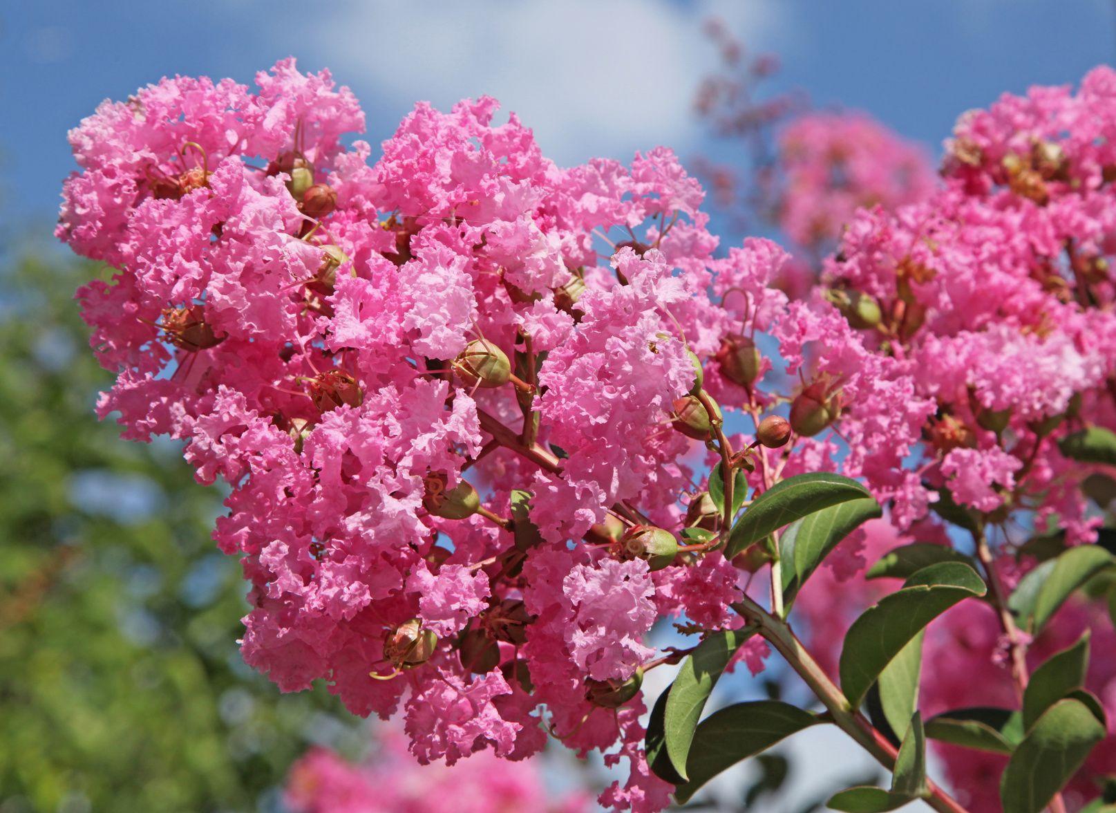 Lagerstroemia ou lilas des indes - Fleurs vivaces longue floraison ...