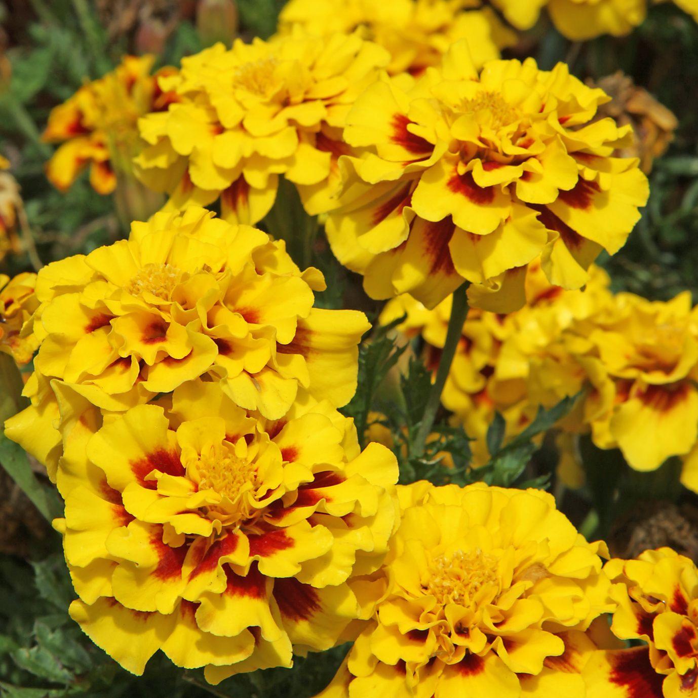 Oeillet d 39 inde fleur de potager et de massif - Semer des oeillets d inde ...