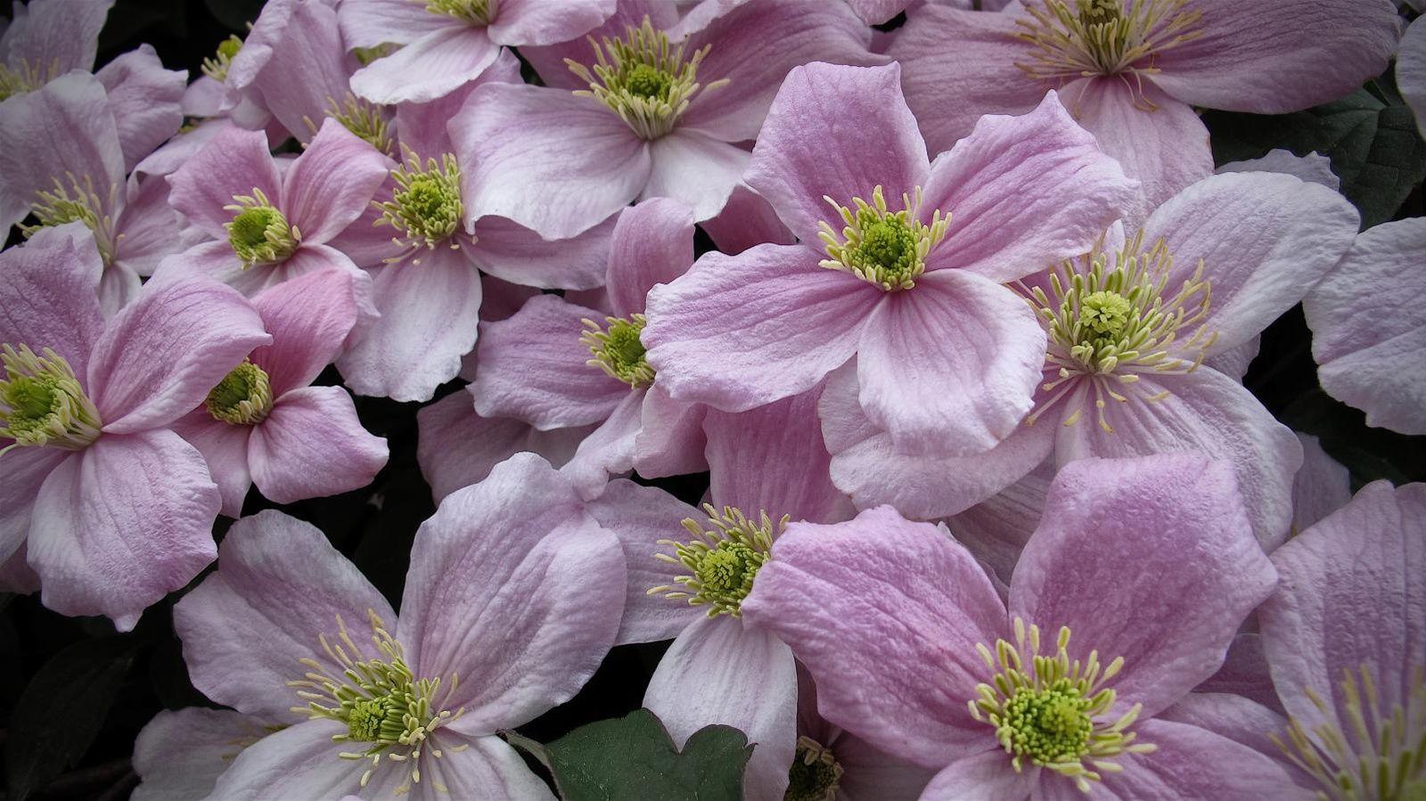 Lilas cl matite forsythia taillez les arbustes for Entretien plantes vivaces