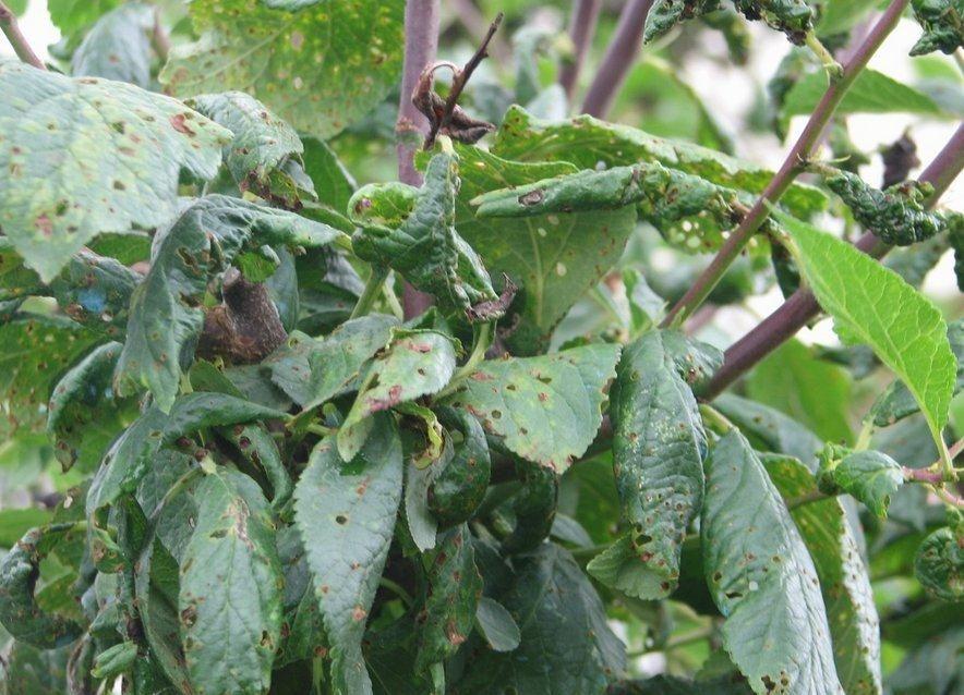 Pourquoi les feuilles de mon prunier sont elles recroquevill es - Feuilles de rosier qui jaunissent ...