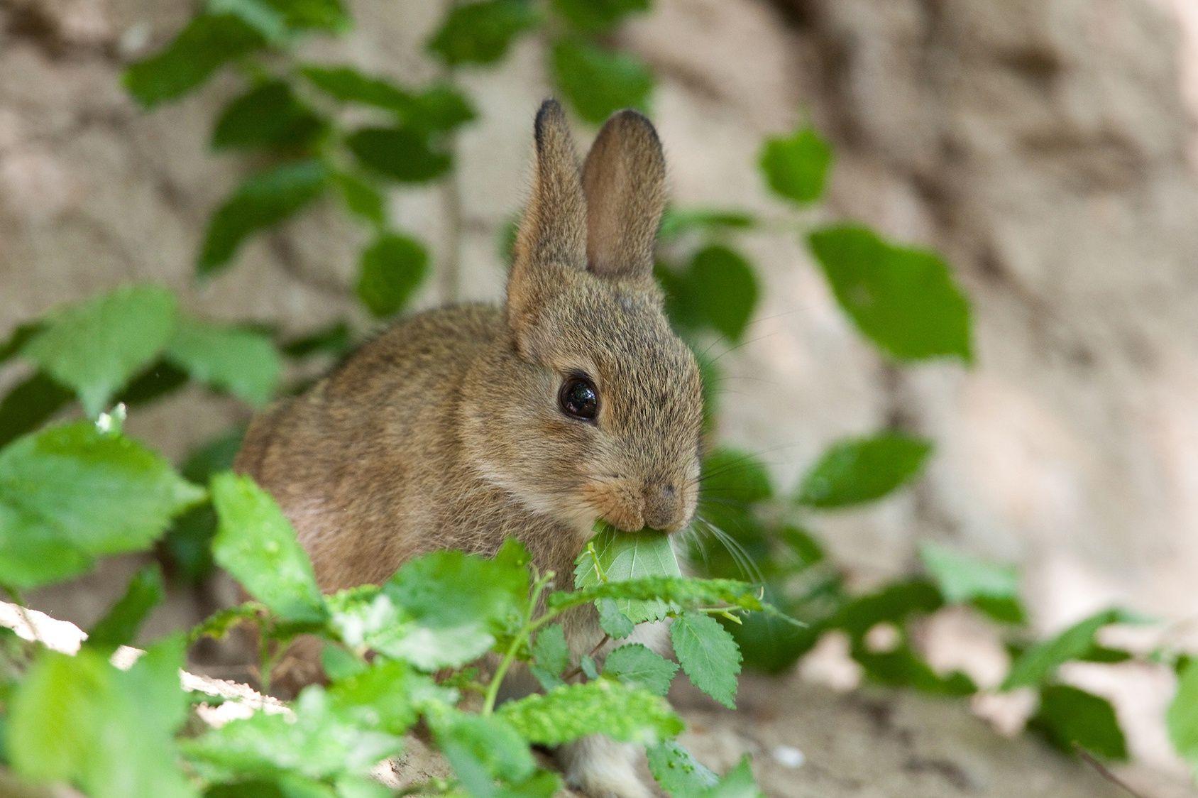 Quelles plantes ne sont pas d vor es par les lapins - Plantes qui ne craignent pas le gel ...