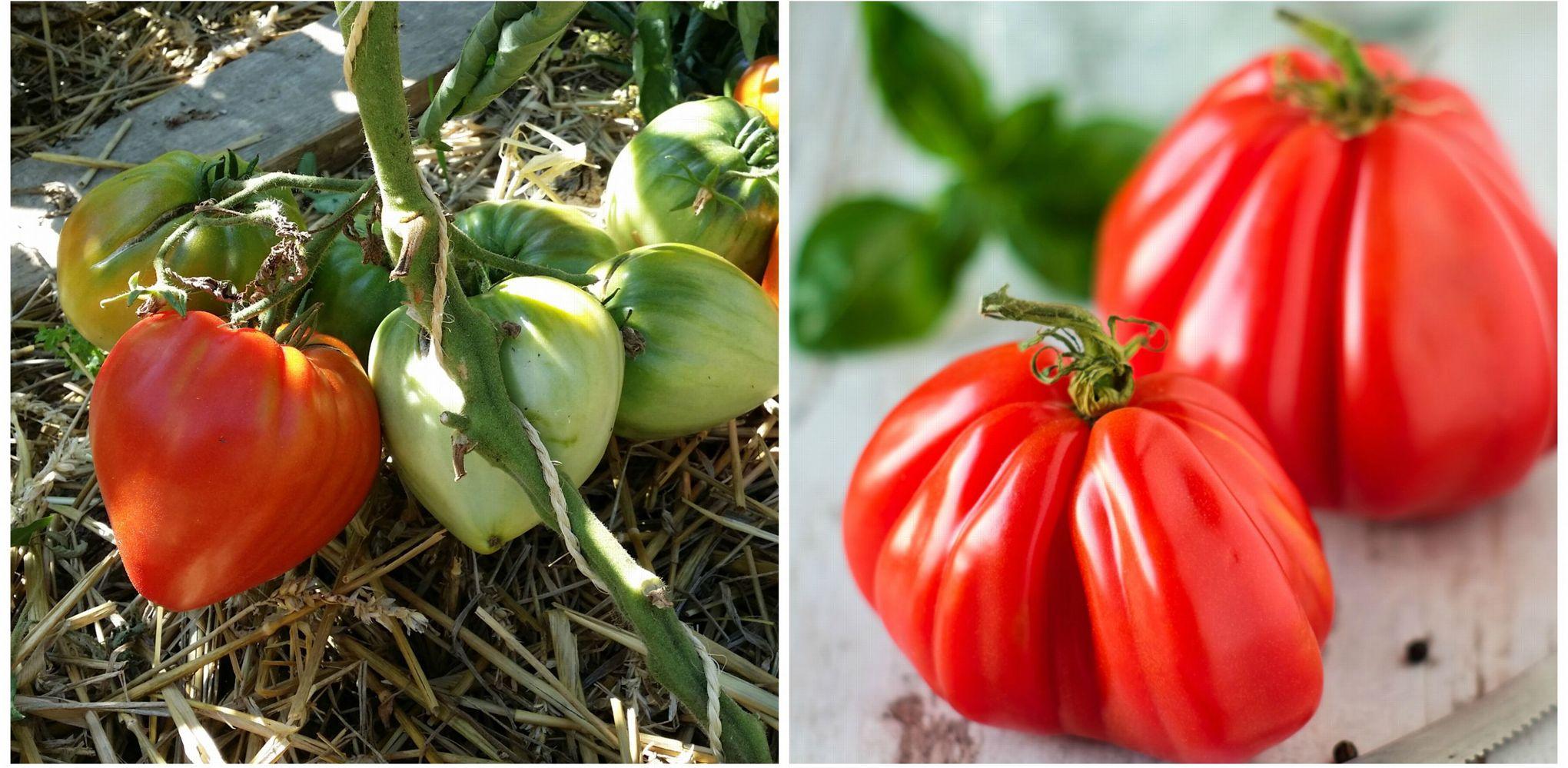Comment reconna tre la vraie tomate c ur de b uf - Comment congeler des tomates du jardin ...