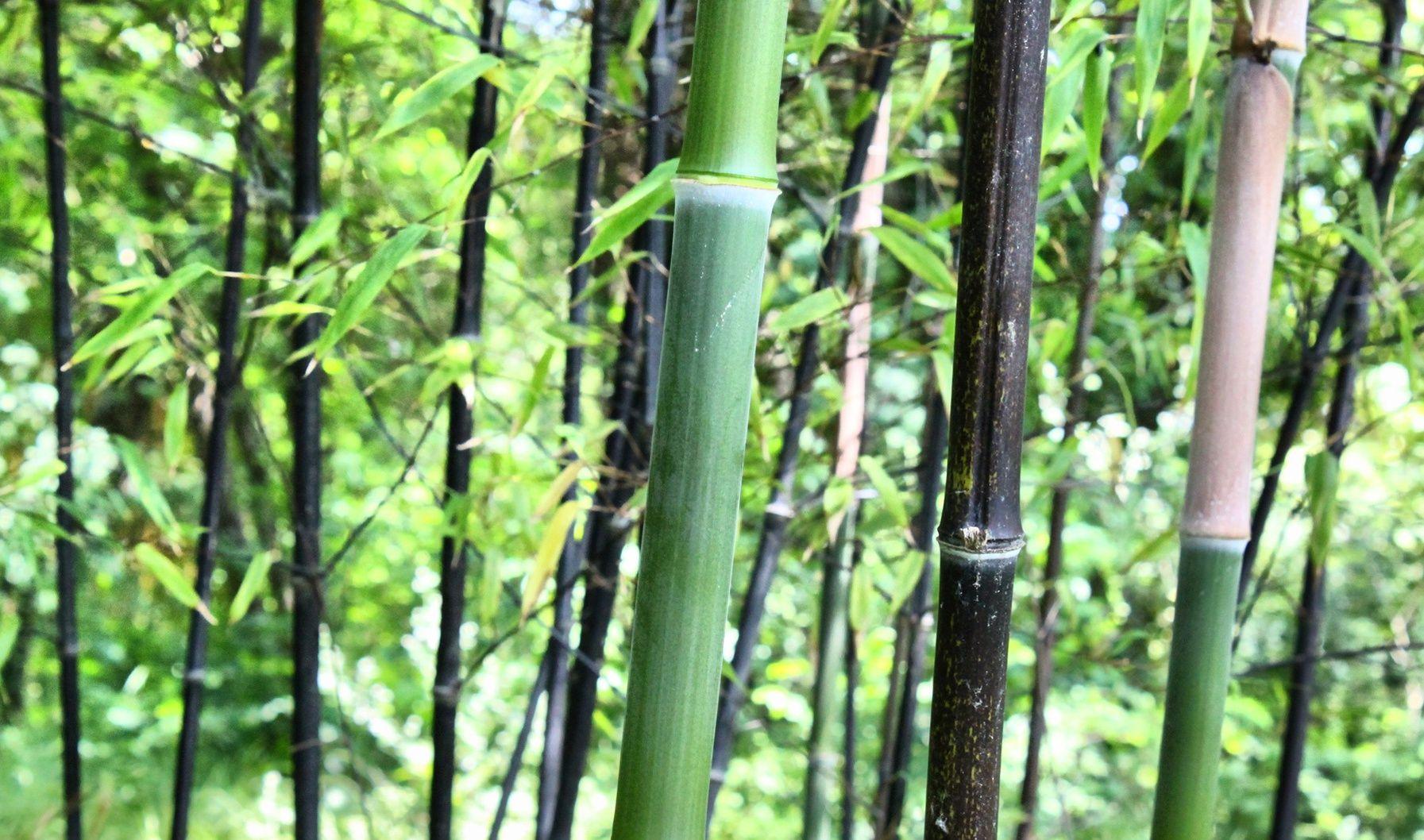 avec quelles plantes le bambou noir s 39 harmonise t il le mieux. Black Bedroom Furniture Sets. Home Design Ideas