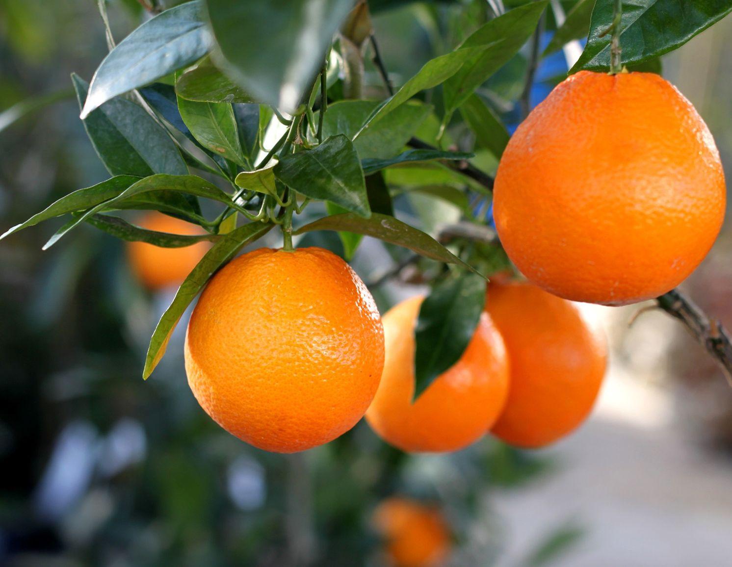 Comment bien faire hiverner vos agrumes - Faut il tailler un citronnier ...