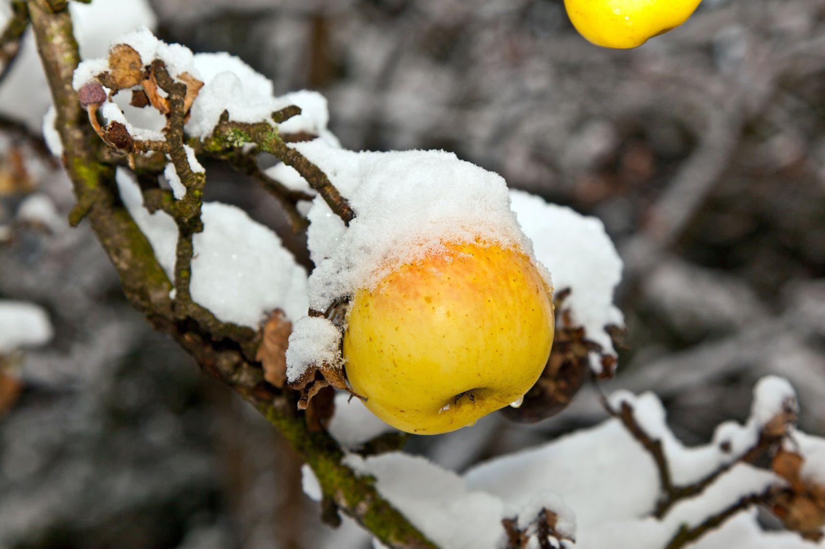 Au verger prenez bien soin de vos arbres fruitiers - Utilisation du marc de cafe au jardin ...