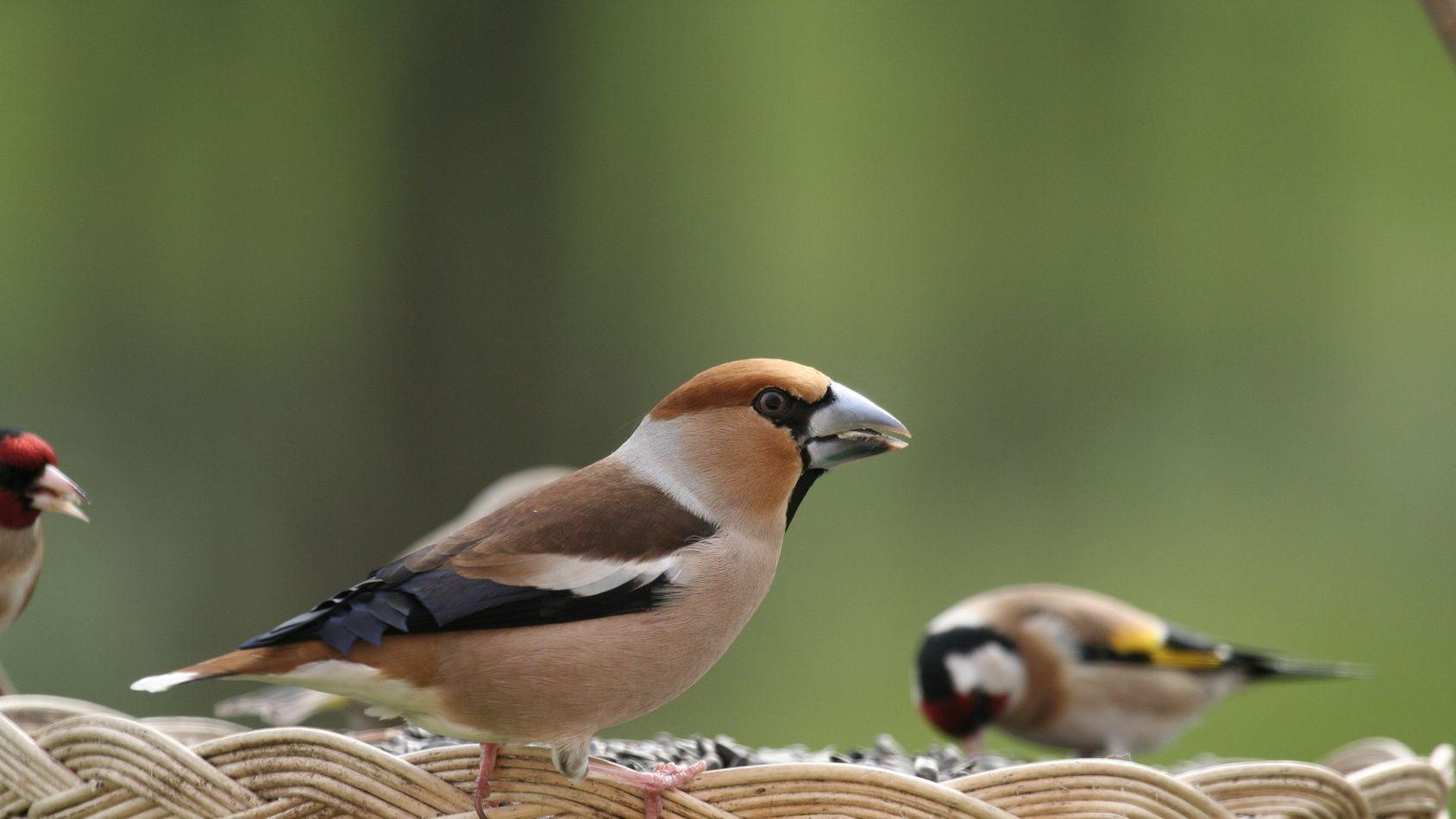 L 39 hiver les oiseaux du jardin ont besoin de nous for Les compagnons des jardins
