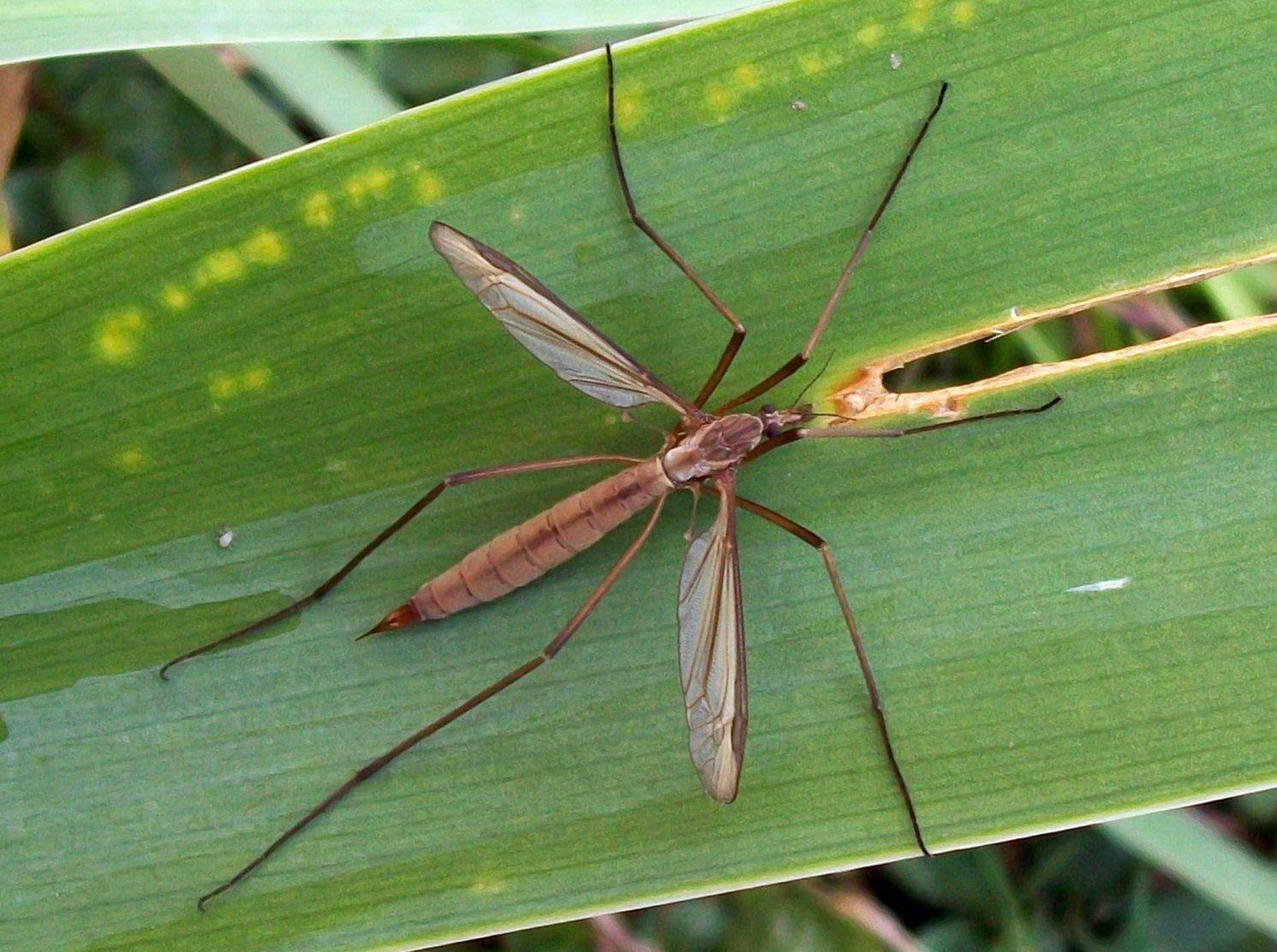 Gazon comment liminer les larves de cousins - Comment eliminer des fourmis dans le jardin ...