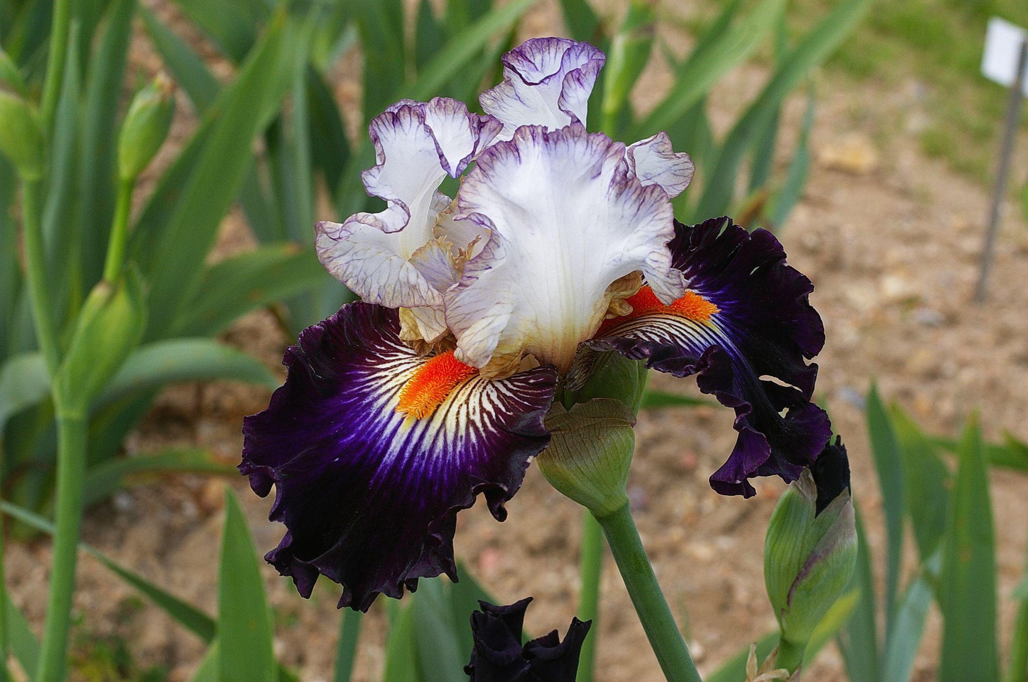 l 39 clatante beaut des iris en fleur. Black Bedroom Furniture Sets. Home Design Ideas
