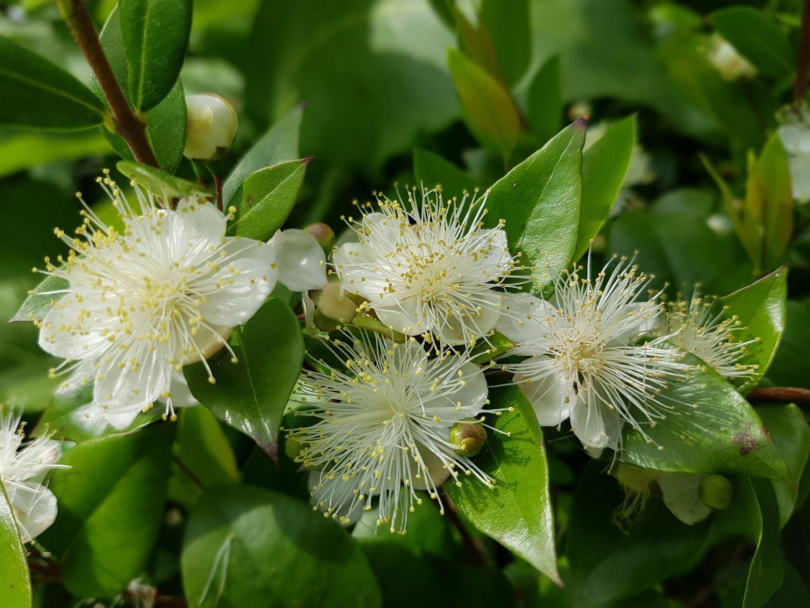 Myrte luma arbuste persistant au beau tronc cuivr for Myrte arbuste