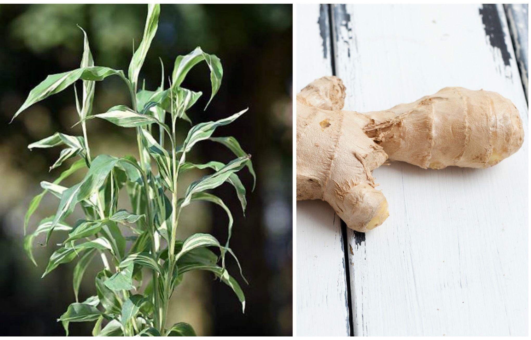 jardin gourmand vous aimez le gingembre cultivez le. Black Bedroom Furniture Sets. Home Design Ideas